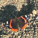 Amiraali – näyttävä vaeltajaperhonen