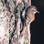 Puukiipijä – puusta toiseen syöksyen sukeltava ruokailija
