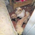 Poliisi epäilee törkeää eläinsuojelurikosta, yrittää tavoittaa koirien ostajia