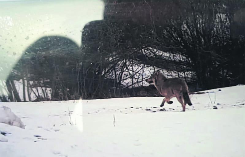 Mahdollinen susi.