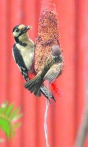 Lintuja ruokintapaikalla.