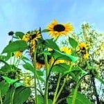 Syksyn auringonkukat