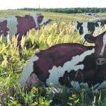 Lehmiä taas Vuosaaressa!
