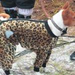 Koirien pukukilpailuun osallistuja.