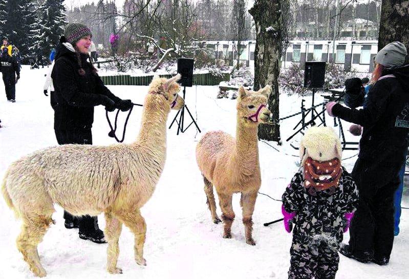 Alpakat ovat vuodesta toiseen ja säästä riippumatta Talviriehan suosittu vetonaula.