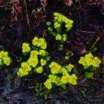 Kevätlinnunsilmä ilahduttaa jo Mustavuoressa