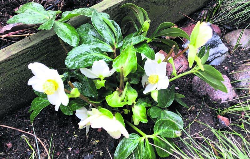 Sinivuokko kukki näin komeasti 18.3. Solvikinkatu 6:ssa ja jouluruusu on kukkinut koko talven.                            Kuva: Sirpa Lahkela