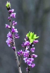 Broändan purolaaksossa (vasemmalla) näsiä kukki jo runsain kukin 20.2. Kuva: Mirja Lehtonen