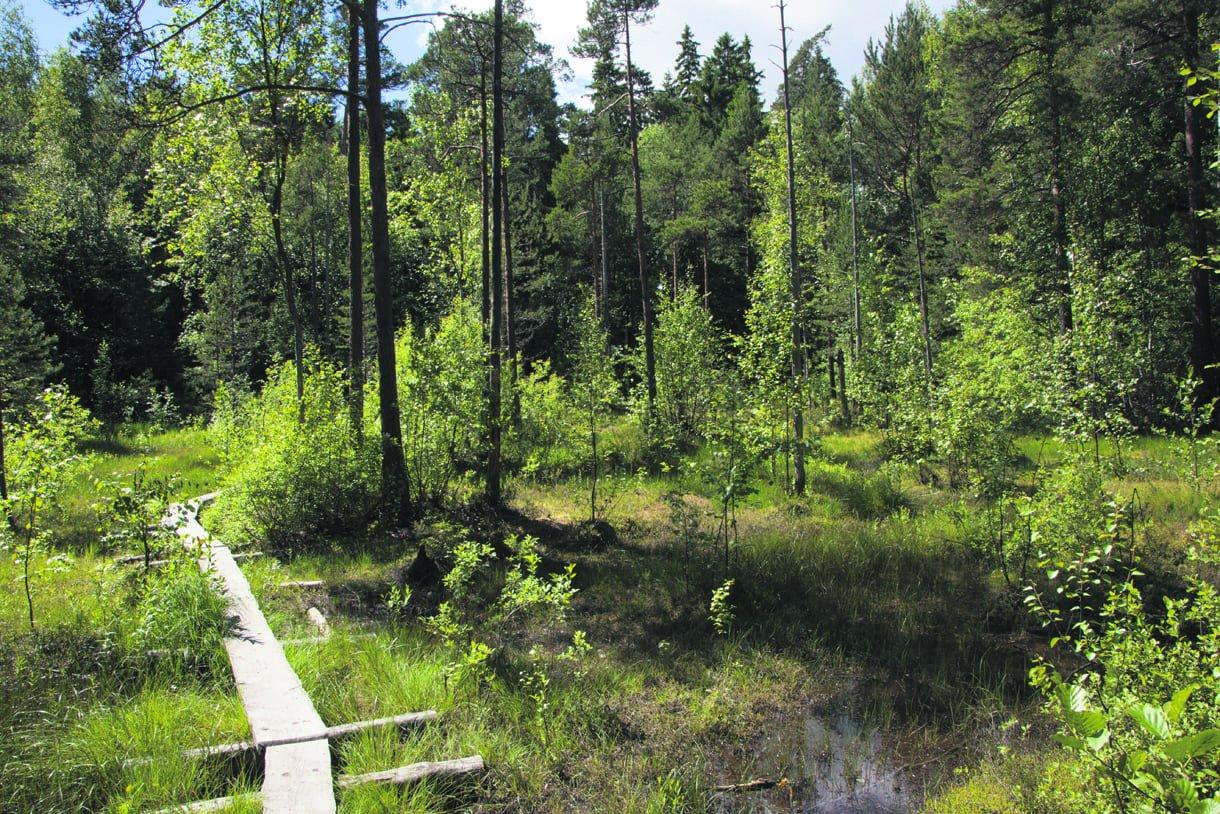Pitkospuut Rastilan nevalla. Kuva: Antti Koli