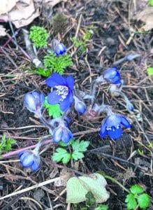 27.3.2020 Mustavuoren lehdossa kukki sinivuokkoja ennätyksellisen aikaisin. Kuva: Matti Pöhö