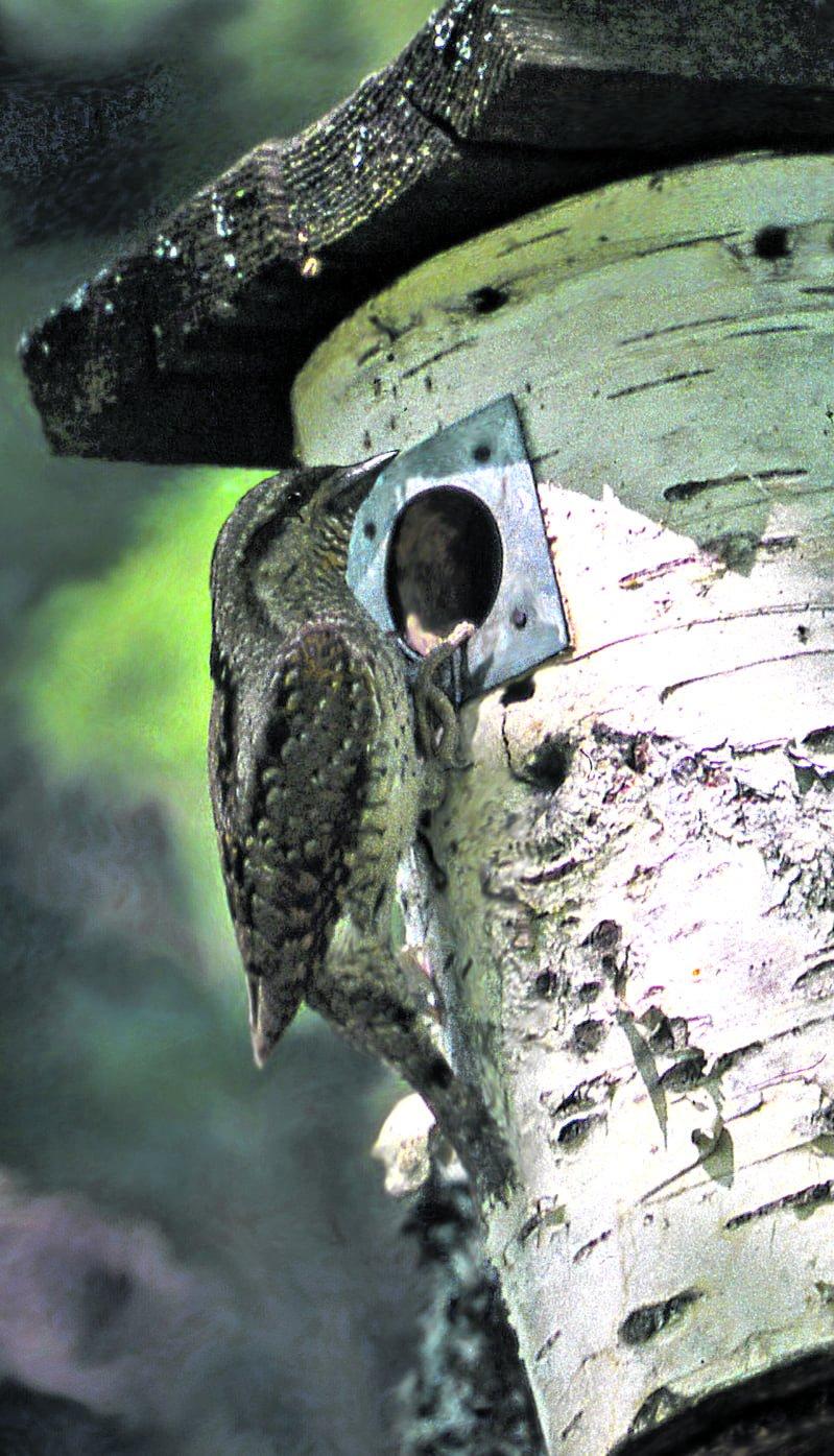 Käenpiika – huomaamaton tikkalintu
