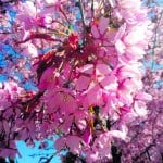 Kirsikkapuut kukassa