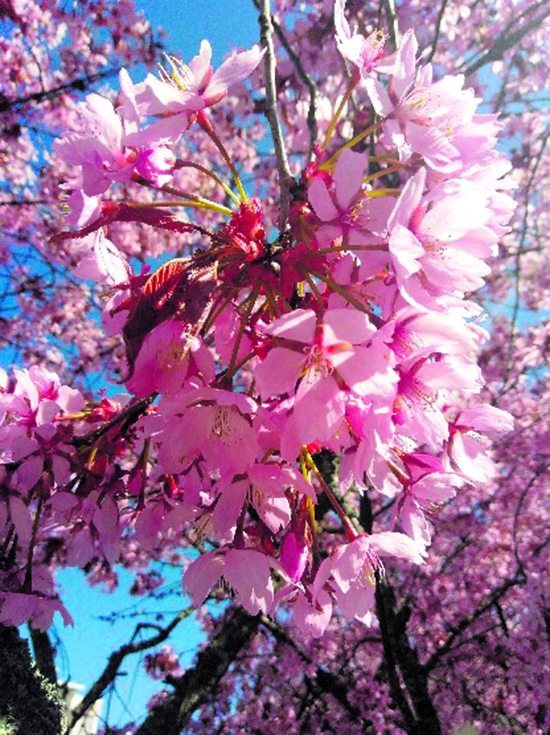 Kirsikkapuut Kallahdessa kuin vaaleanpunaista hattaraa ilahduttavat ja ihastuttavat koronakeväänäkin. Kuva: Silja Jokinen, Aurinkolahti