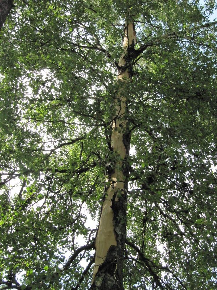 Puun Kuori