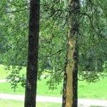 Salama kuori puun Liinamaanpuistossa