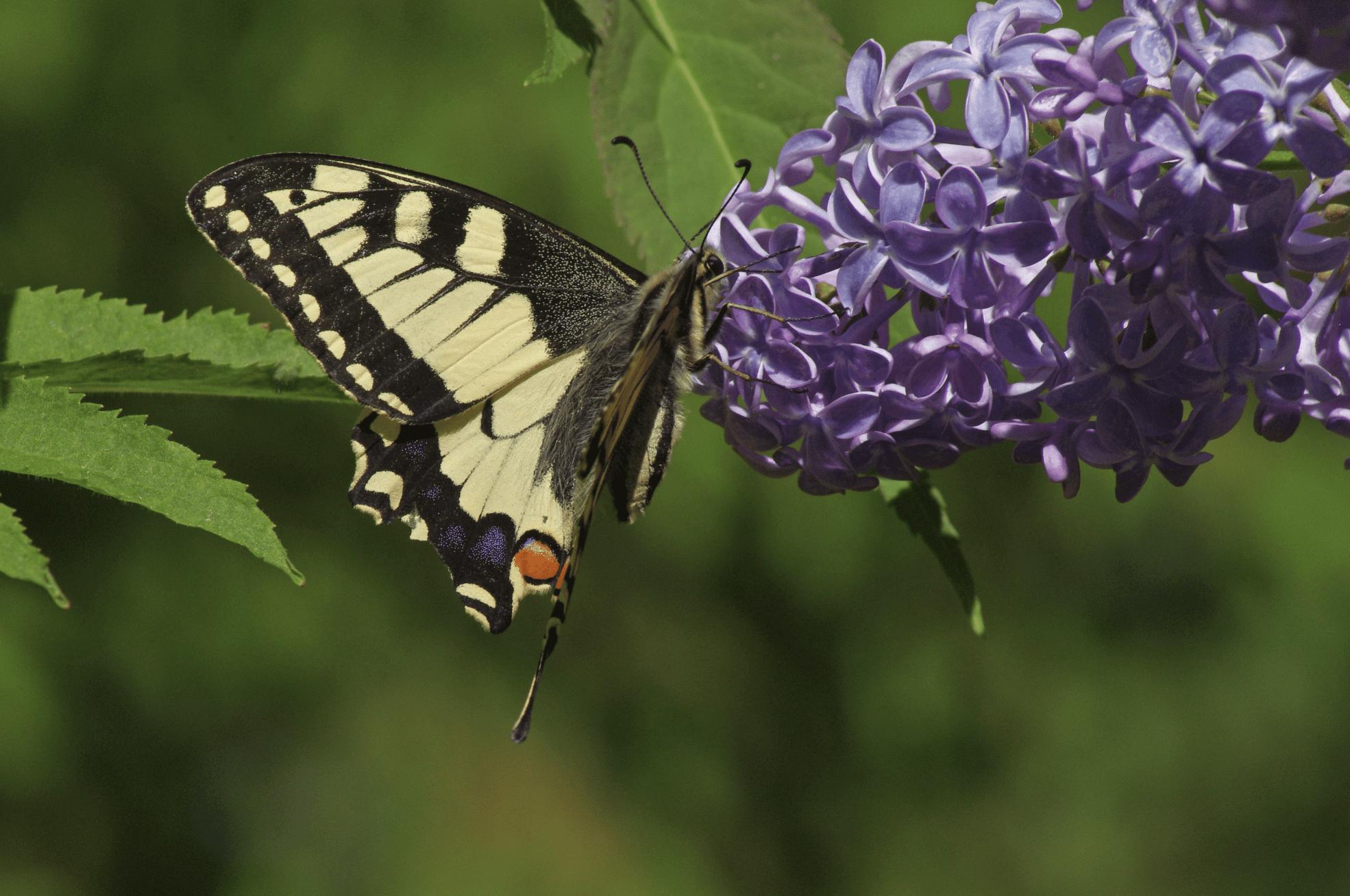 """Kannuksissa olevat """"silmätäplät"""" houkuttelevat lintuja nappaamaan korkeuksissa liitelevään ritariperhoseen. Näin perhonen säilyy muuten elinkelpoisena."""