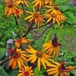 Vaeltavat perhoset