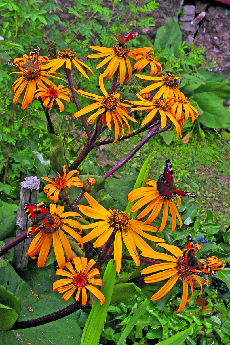 Kallionauhus on parhaita perhoskasveja, mutta kotimaisista myös päivänkakkarat kelpaavat hyvin. Ylävasemmalla yksi ohdakeperhonen, ehkä maailman laajimmalle levinnyt päiväperhonen.
