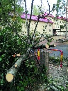 Ailan päivän syysmyrsky 17.9. kaatoi puita myös Vuosaaressa. Kuvan koivu rojahti koulun pihassa Heteniityntiellä aidan päälle. Onneksi kukaan ei jäänyt alle.        Kuva: E.H.