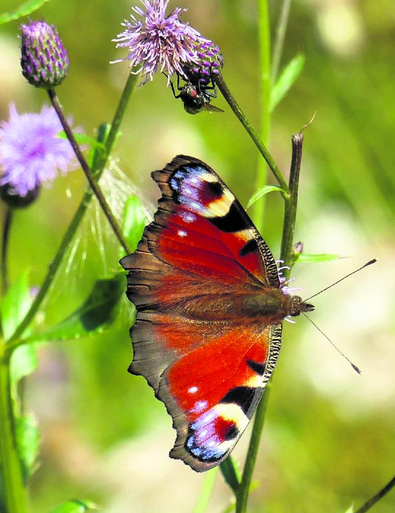 Elokuu – perhoskuu, neitoperhonen Uutelassa 19.8. Kuva: Katri Lehtonen