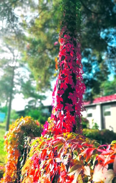 Ruskan värittämä villiviini kohoaa korkeuksiin pitkin männynrunkoa.   Kuva: Silja Jokinen, Aurinkolahti