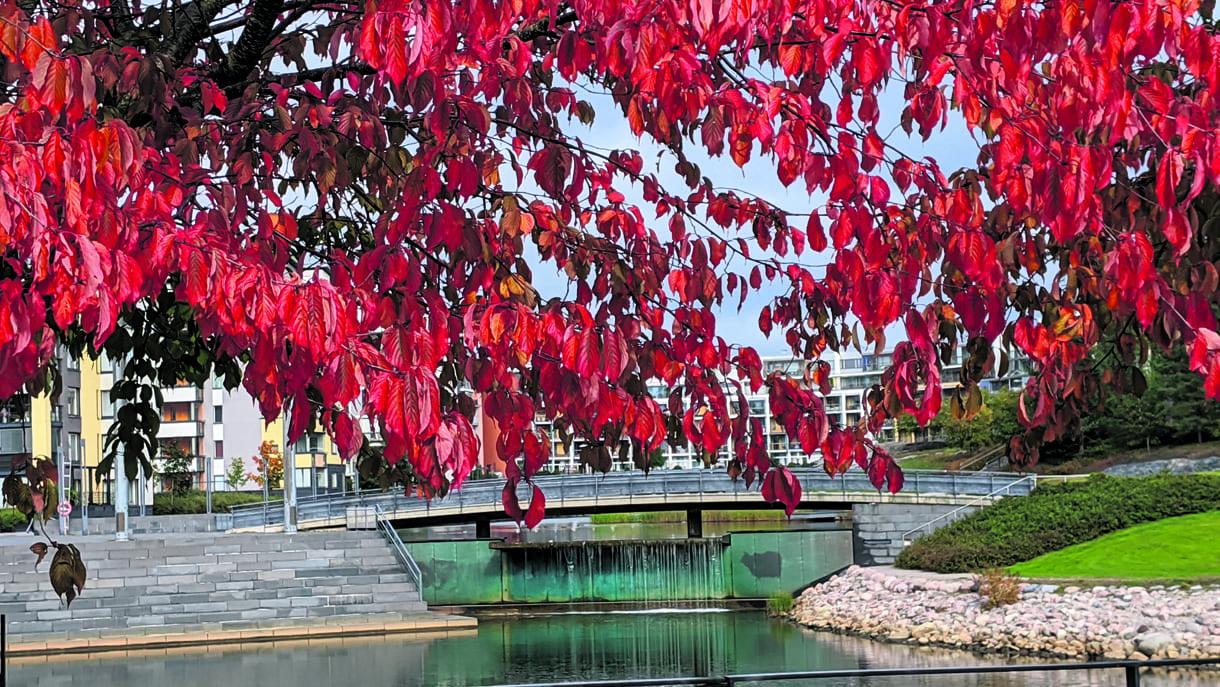 Ruskaa syyskuun lopussa Uutelan kanavan varrella, taustalla näkyy kanavan putous. Kuva: Matti Pöhö