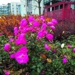 Ruusut kukkivat vielä