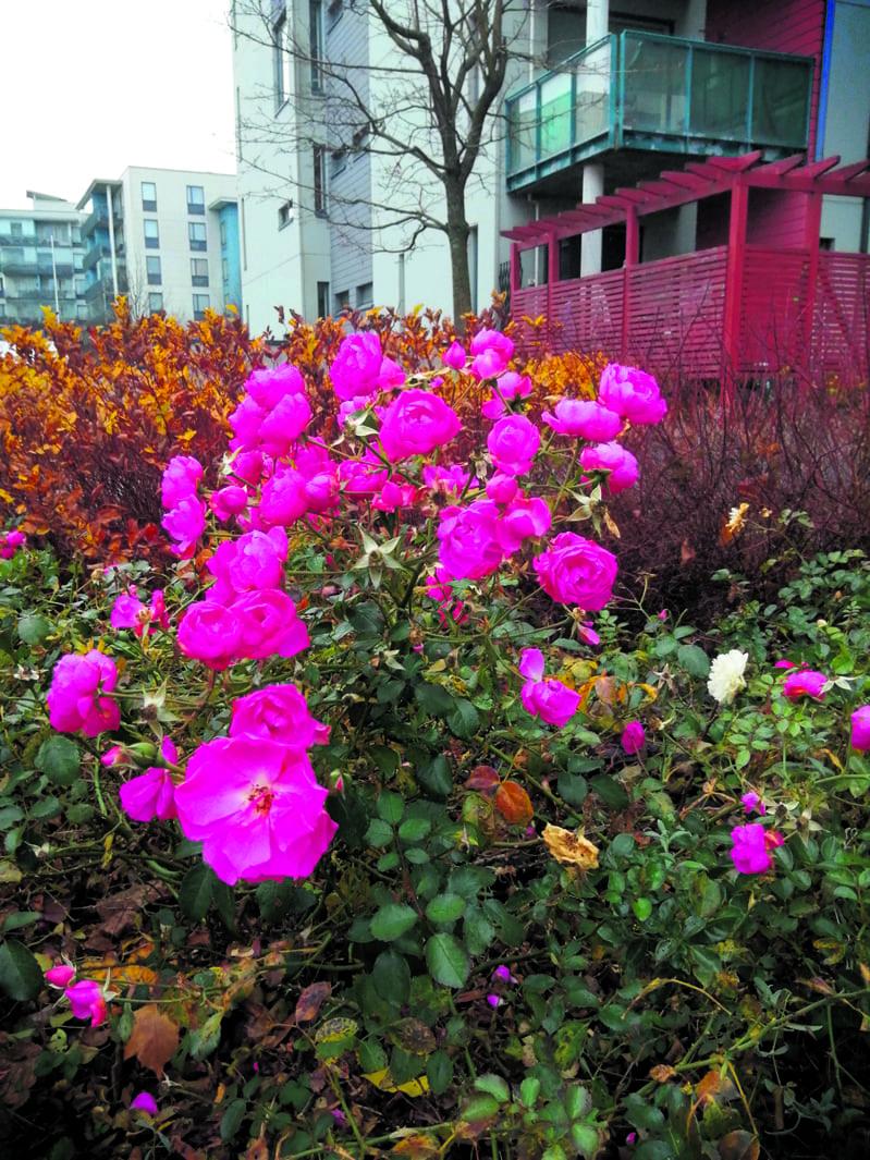 """Ruusut kukkivat näin komeasti Pohjavedenkadulla vielä marraskuun puolivälissä.                                        """"Tuleekohan talvi koskaan?"""""""