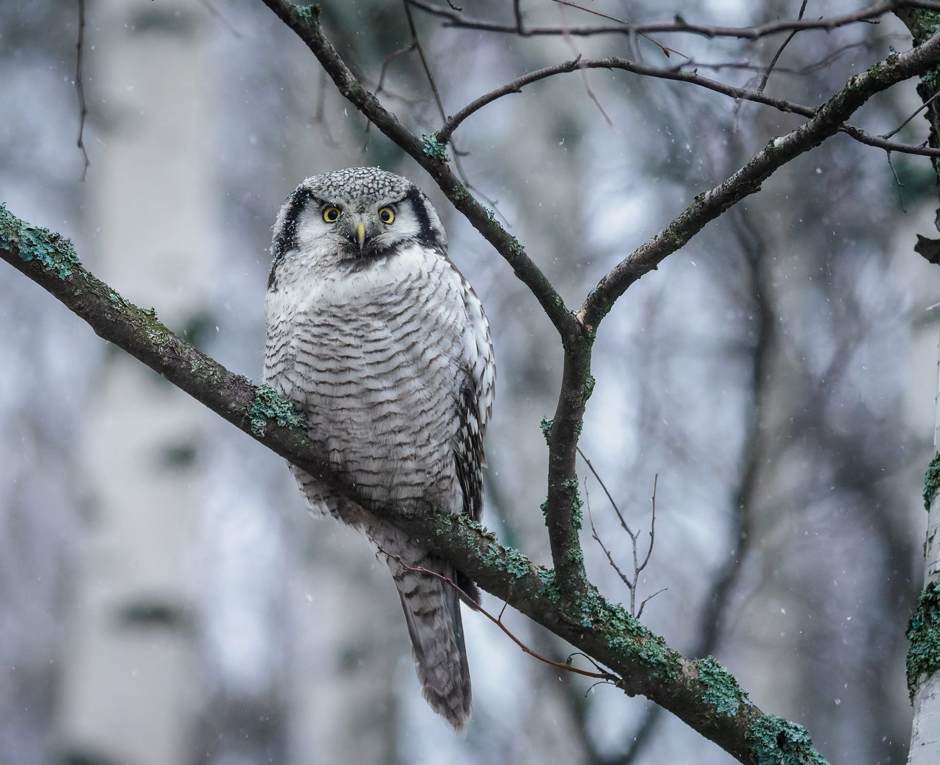 Hiiripöllö tarkkailee vuosaarelaispuussa.
