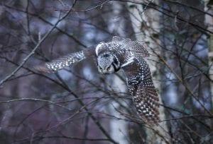 Hiiripöllö saalistuspuuhissa. Kuva: Pekka Reittilä
