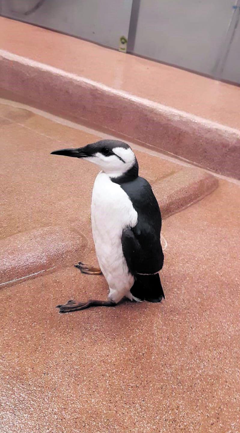 Pingu-etelänkiisla löydettiin Iso-Britanniasta Vuosaaren satamaan saapuneen rahtialuksen kannelta.
