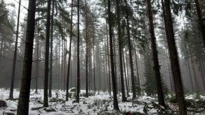 Alue Uutelassa harvennustyön jälkeen tammikuussa. Vesa Koskikallio / Helsingin kaupunki