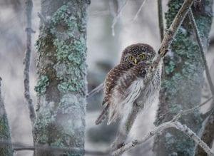 Vuosaaressa viime aikoina viihtyneet pöllöt ovat ilahduttaneet lintuharrastajia, kuvassa yksi Porslahdessa tavatuista varpuspöllöistä. Kuva: Pekka Reittilä
