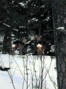 """Metsäkauriita Uutelassa helmikuussa. Kuva: """"Metsämies"""""""