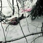 Kauriin saalisti Mustavuoressa todennäköisesti susi
