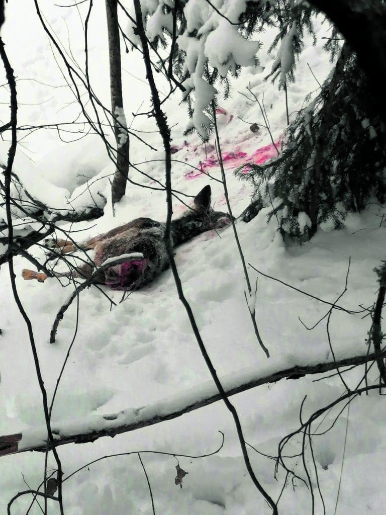 Osittain syöty metsäkauris löytyi Mustavuoren hiihtoladun varrelta, entisen kalkkikaivoksen läheltä. Kuva: Aku Honkanen