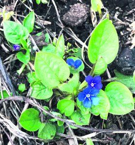 Kevätkaihonkukka kukkii jo Porslahdentiellä