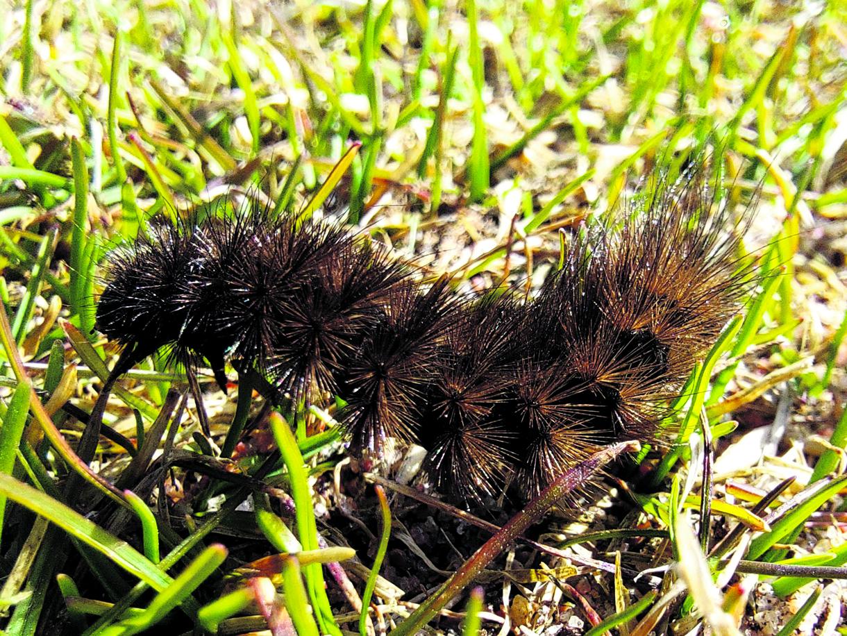 Ruostesiipi-perhosen toukka oli pelikaverina Vuosaaren golfkentällä huhtikuussa. Kuva: Pekka Löfman