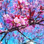 Vaaleanpunainen kevät