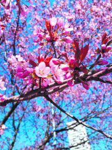 Taas vaaleanpunaista hattaraa Mustankivenpolulla. Kuva: Silja Jokinen, Aurinkolahti