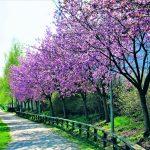 Kirsikkapuisto Vuosaareen?