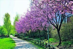 Olisiko Vuosaaressa tarpeen kirsikkapuisto? Täällä sille olisi alkua, kolmella laidalla kirsikkapuita Porslahden puistossa. Terveisin Matti Koivisto