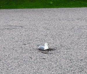 Lokki oli tehnyt pesän pienelle hiekkakentälle lähes keskelle Leikosaarentietä Mustankivenpuiston eteläreunaan, pesässä oli yksi iso muna. Kuva: Taisto Hyrkäs