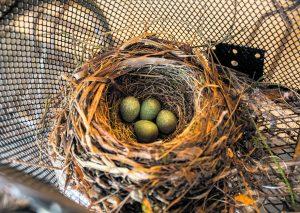 Mustarastas on valinnut Lokkisaarentiellä aika erikoisen paikan pesälleen rakentamalla sen polkupyörän koriin. Ilmeisesti pyörä ei vähään aikaan ole ollut liikenteessä, koska lintu on ehtinyt munia neljä munaakin. Se vastaa hyvin pesyeen keskiarvoa. Haudonta-aika on 11–14 vuorokautta. Aika näyttää kuinka pesintä onnistuu. Hiukan riskialttiilta se kuitenkin näin maallikon silmissä vaikuttaa. Terveisin Pertti Rekala
