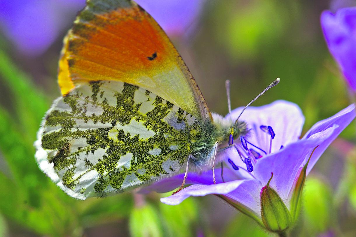 Kuvassa auroraperhoskoiras kurjenpolvella mettä imemässä. Takasiiven alapintakuviot ovat monien perhoslajien lajimäärityksessä tärkeitä, viimekädessä genitaalit ratkaisevat. Auroraperhosella ei ole tätä ongelmaa, sitä ei voi sekoittaa lähilajeihin.