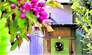 Koristeomenapuu on jo kukkinut. Kopin seinällä linnunpöntössä on melu lisääntynyt, kun tinttiemo tuo ruokaa poikasille. Kohta kaikki lentävät pesästä ympäristön iloksi ja vaarallisille teilleen. Kesän iloa. Kuva: Matti Koivisto