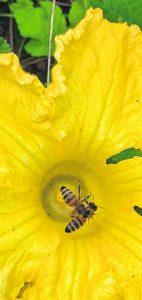 Fallpakan kasvimaalla on kurpitsan kukissa riittänyt tungosta, kun monenlaiset pörrääjät ovat niissä pyörineet. Samoin hyönteishotellissa on ollut tungosta. Kuva: Matti Pöhö