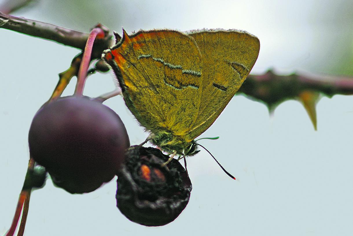 Ruostenopsasiipi kirsikan hedelmällä.