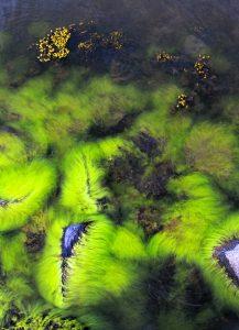 Kuningattaren ahdinpartaa ja rakkoleväkasvustoa samassa kuvassa. Ahdinparta on rehevöityneen vesistön indikaattori ja rakkolevä taas puhtaan veden ilmentäjä, indikaattori.