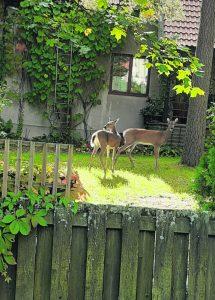 Kaksi peuraa seikkaili omakotitalon pihamaalla 13.9. Rastilassa. Kuva: Maija Roinila